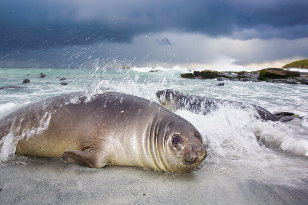 Elephant Seal in the storm